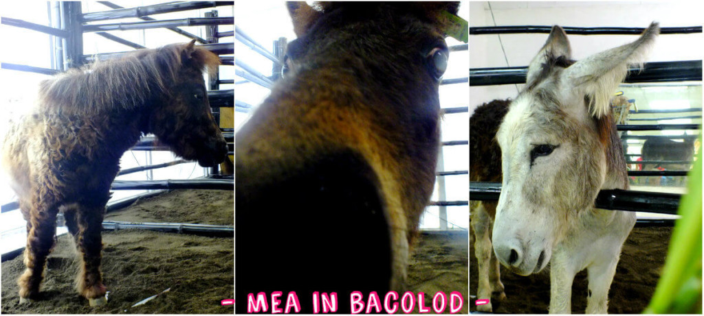 The miniature horse is kissing my camera