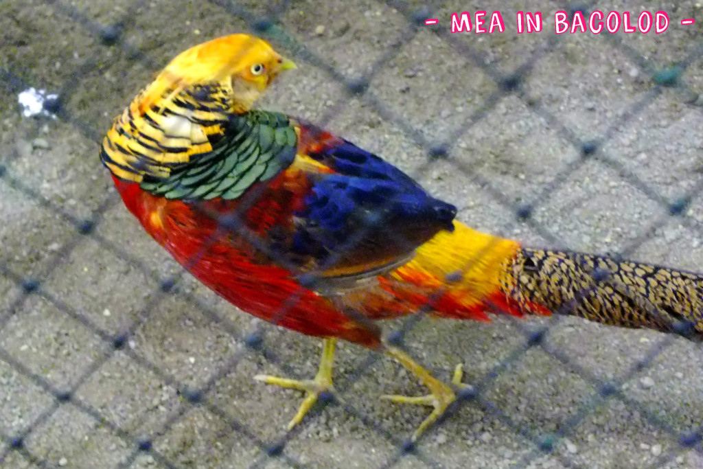 A colorful chicken