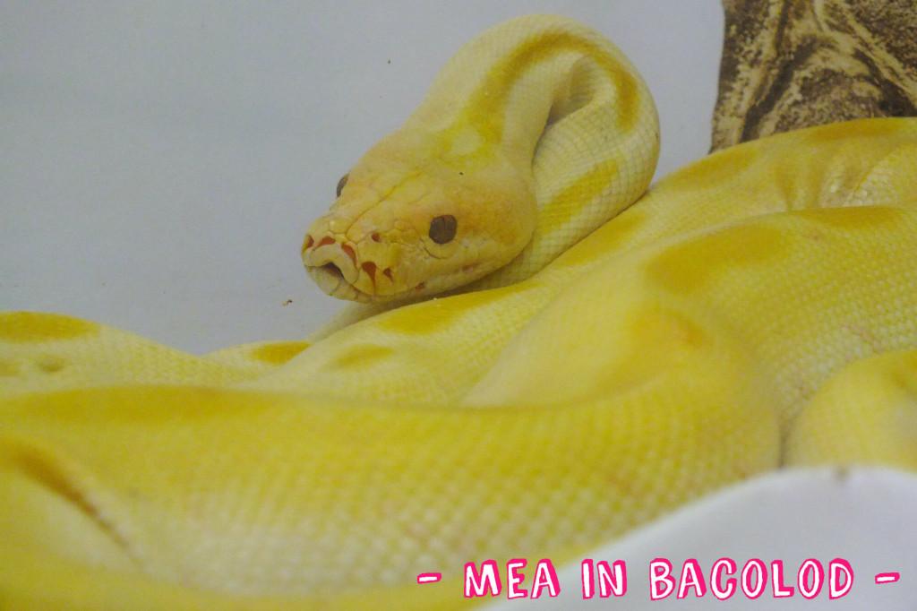 Albino snake at the SM City Bacolod ZOOFARI
