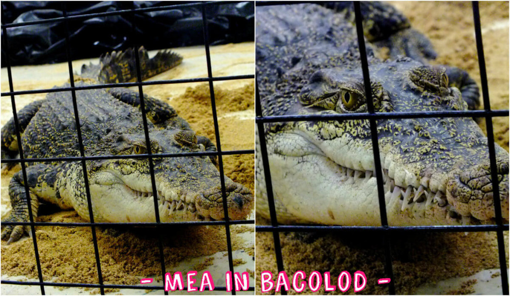 A philipppine crocodile. It's also called Mindoro Crocodile