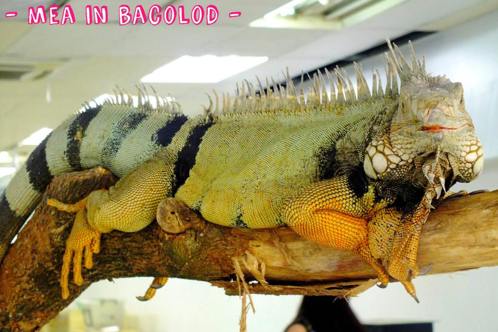 An iguana sitting on a tree branch