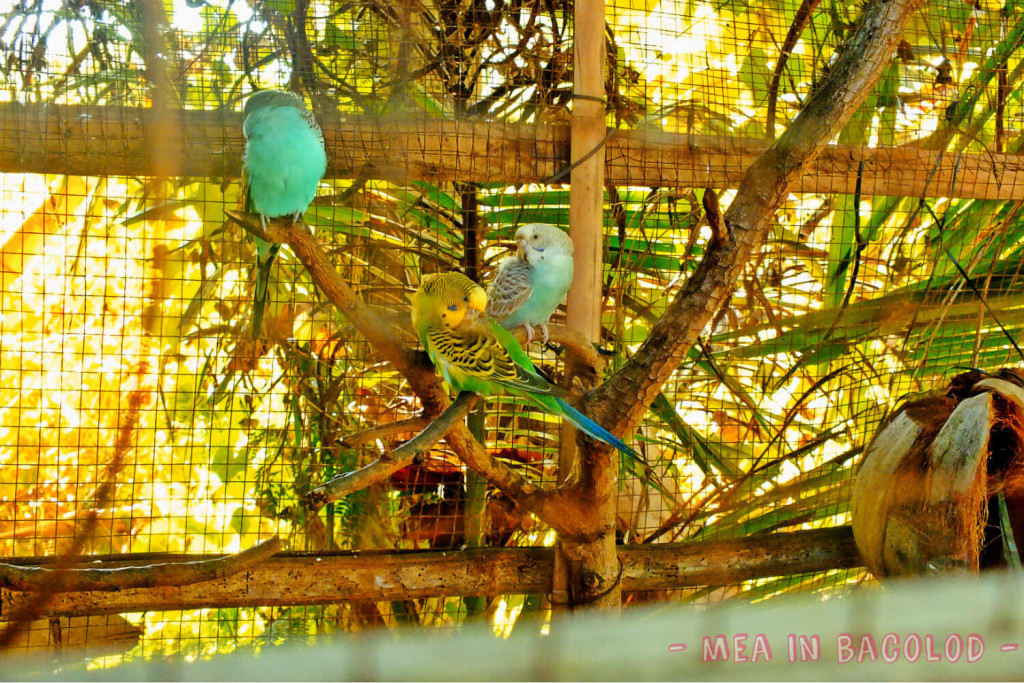 Love Birds a Plenty in Negros Occidental